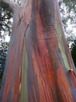 ...rainbow eucalyptus...