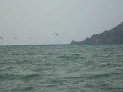 ...pelicans at play...